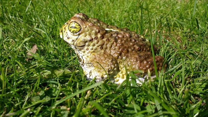 A chocolate toad sitting in the grass